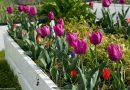 Flori companion în straturile cu legume