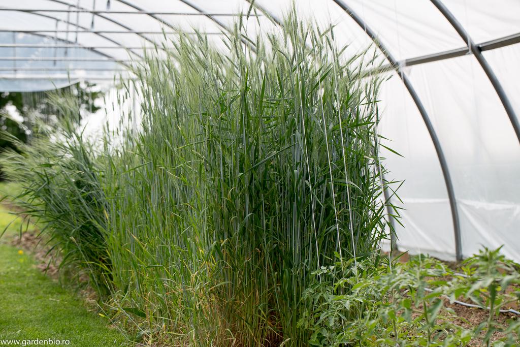 Grâul Emmer în grădina de la ţară. Deşi pe stratul unde l-am semănat în toamnă, am construit solarul anul acesta, preţiosul grâul a rămas la locul lui până la recoltare.