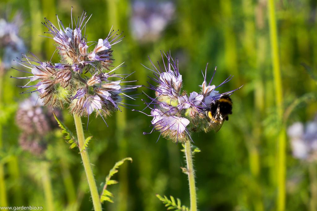 Bondarii atraşi de polenul şi nectarul florilor de facelia