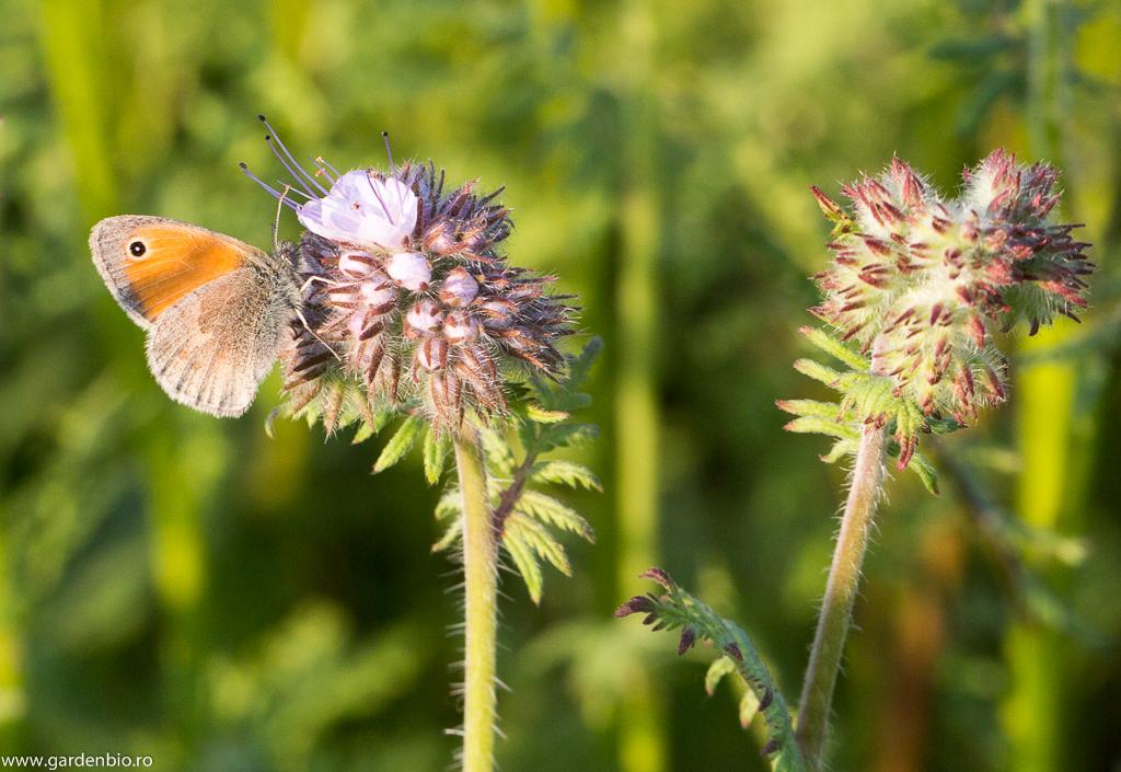 Pe lângă albine şi bondari, stratul cu florile de facelia este vizitat de numeroşi fluturi