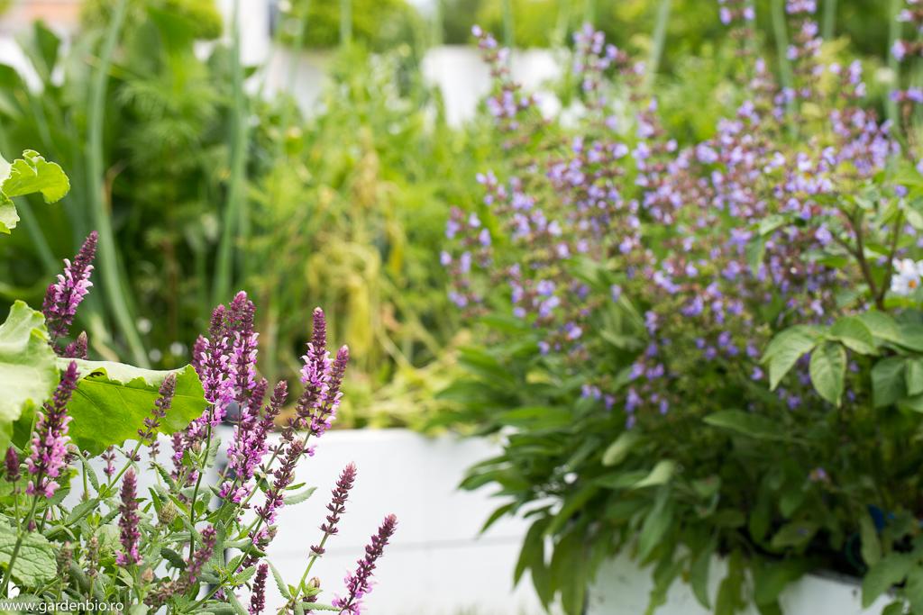 Salvie varietatea Rose şi Salvia Officinalis