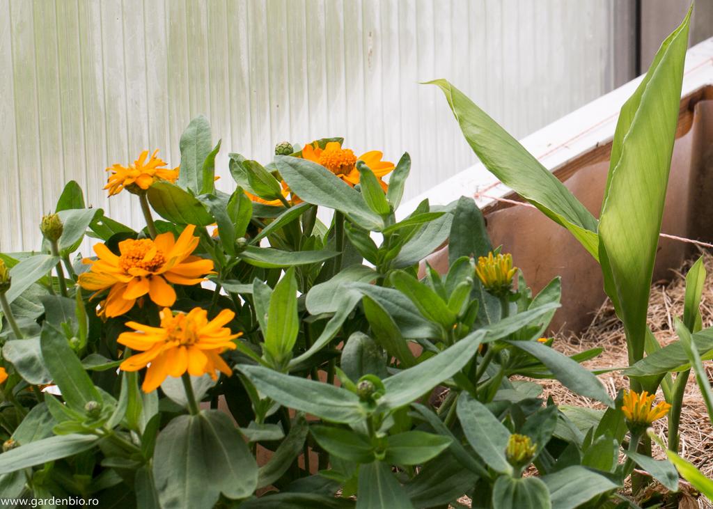 Cârciumărese şi turmenic în seră