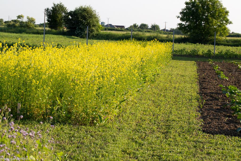 Muștar, excelent îngrășământ verde, pentru pregătirea viitoarelor culturi de legume