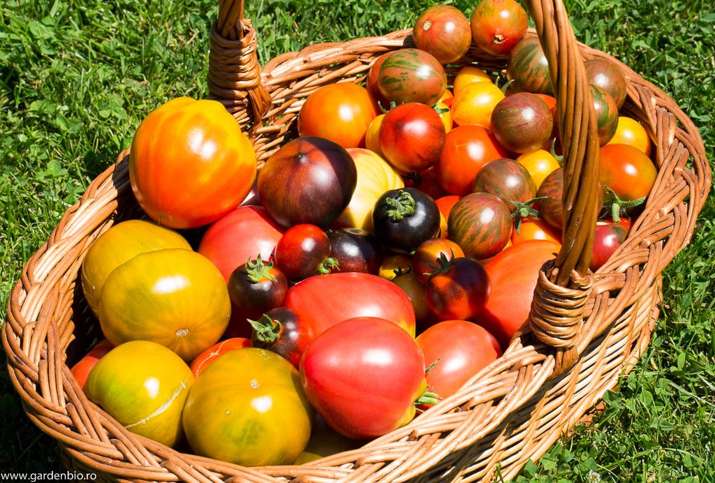 Recoltă de tomate heirloom, pentru livrare la clienți