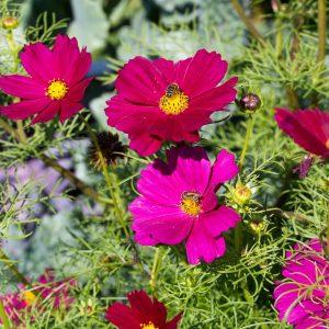 Seminţe flori