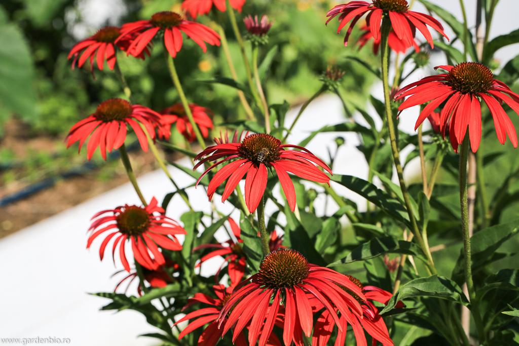 Echinaceea (cheyenne spirit) atrage o mulțime de polenizatori - bondari, albine, fluturi etc.