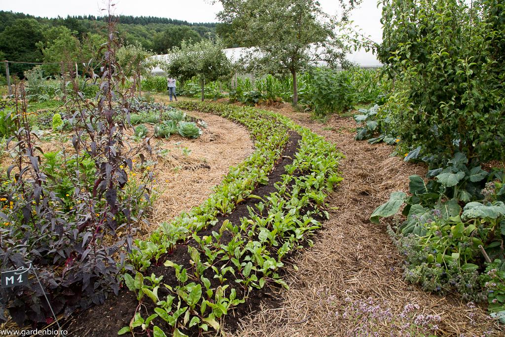 Strat înălţat cu compost , cultivat cu sfeclă roşie