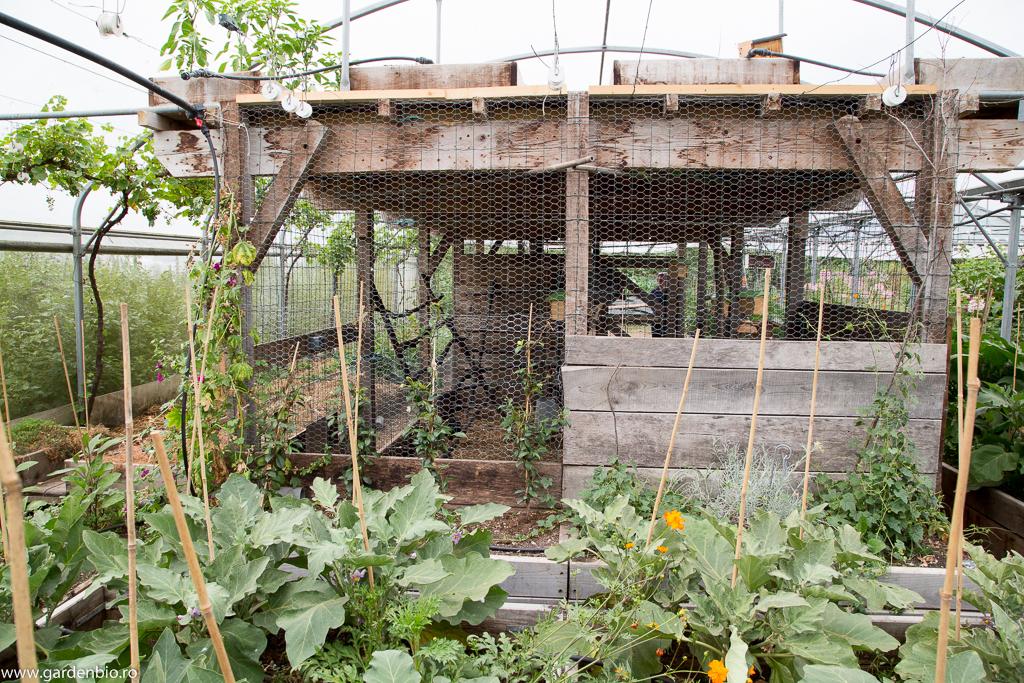Coteţ cu găini în solar. Un principiu din permacultură - după ce rosiile sunt culese de pe primele etaje, găinile sunt lăsate libere prin solar, unde pasc buruieni, scurmă (afânează solul), fertilizează natural solul. Vinetele sunt în raised beds înălţate la 60 cm, astfel să nu ajungă păsările.