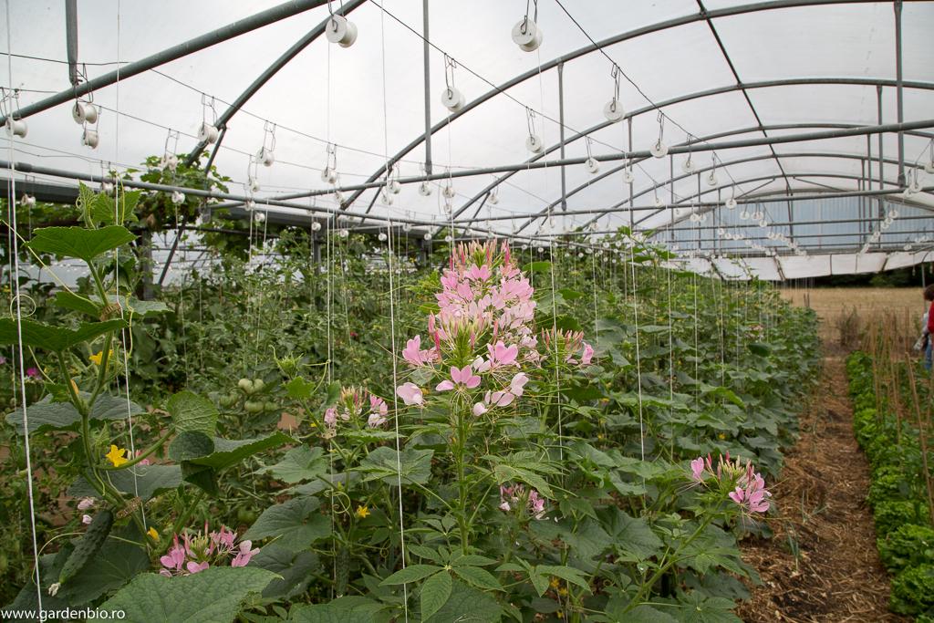 Cleome în solar printre legume pentru atragerea polenizatorilor
