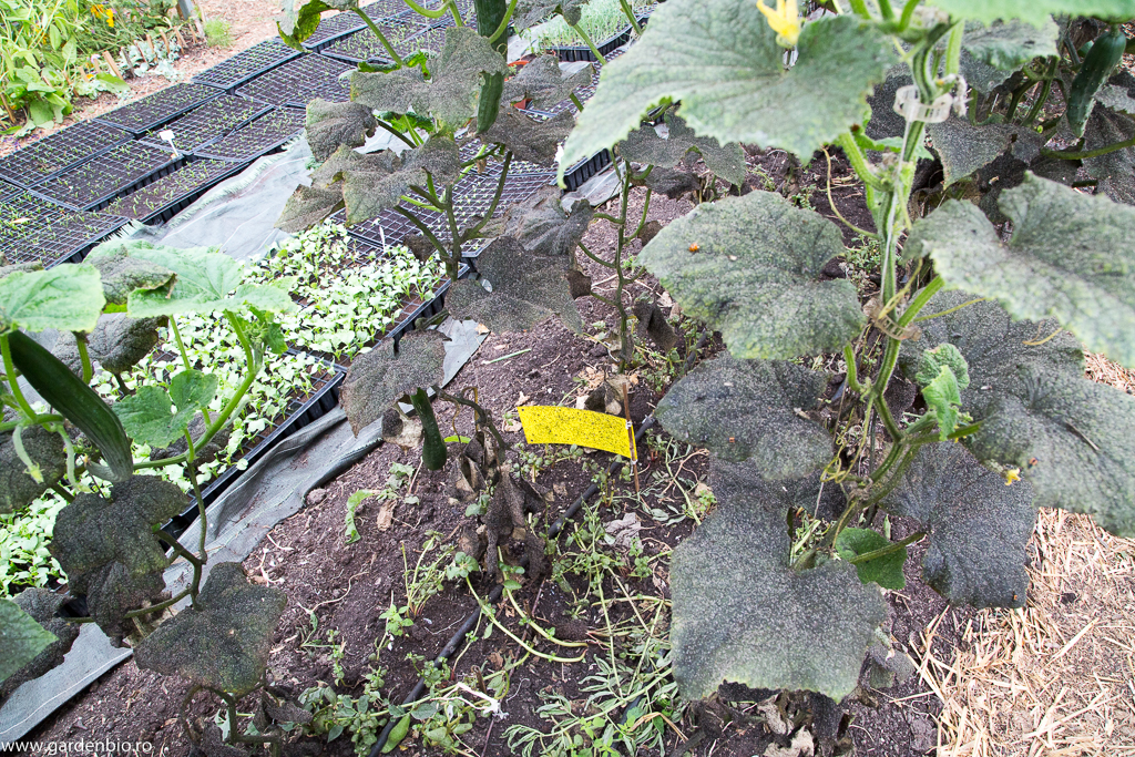 Capcane cu lipici galbene şi o mulţime de buburuze şi muşte încearcă să echilibreze situaţia :)