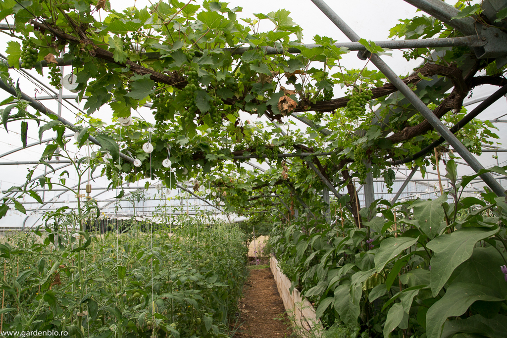 Strat raised bed la ferma Bec Hellouin cultivat bionintesiv cu vinete, busuioc şi viţă de vie.