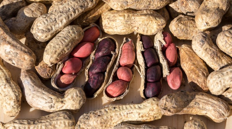 Prima recoltă de arahide (alune de pământ)