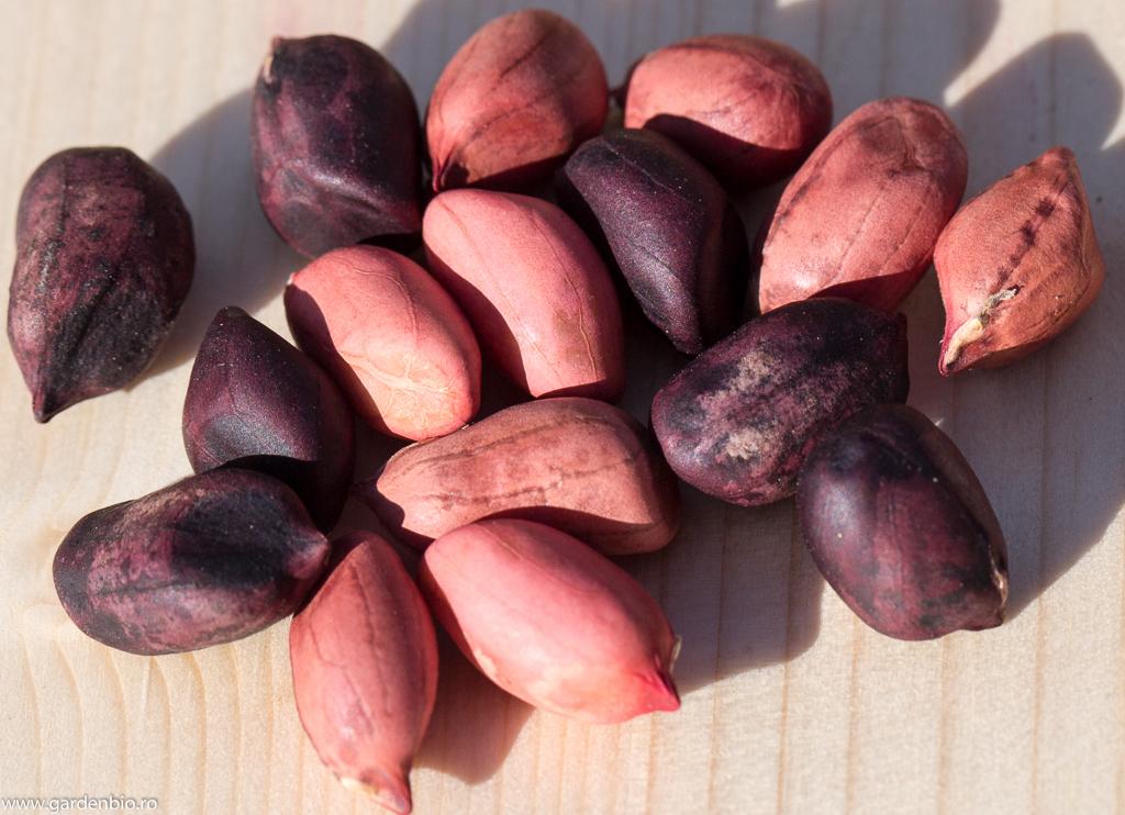 Delicioasele soiuri de alune de pământ heirloom Tennesse Red şi Deep Black