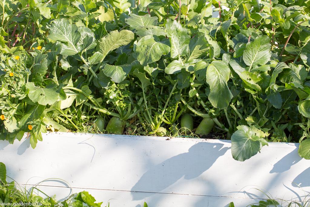 Deşi desimea este foarte mare între plante, datorită solului fertil îmbunătăţit cu compost în fiecare an plantele se dezvoltă foarte bine şi obţinem recolte mari.