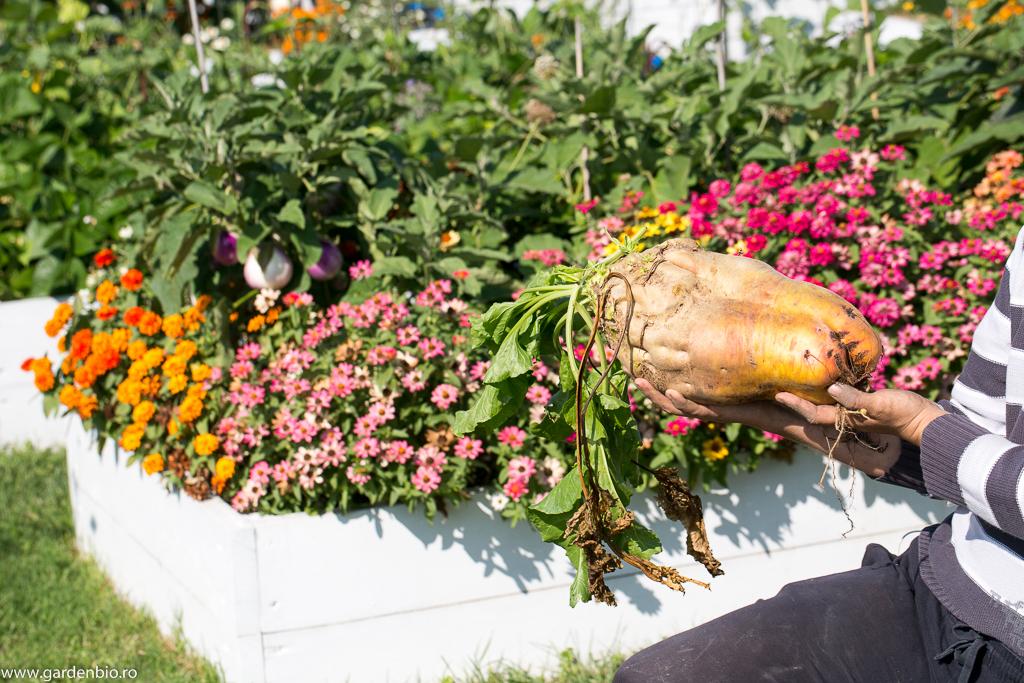 Cultivarea în sistem biointensiv înseamnă plante mai multe pe suprafeţe mici, dar şi legume mai viguroase şi mai sănătoase. Unele legume ating dimensiuni impresionante, cum este cea din imagine (gulie de 9 kg, vânătă de 2 kg, sfeclă de 3-4 kg, câteva din recordurile din grădină).
