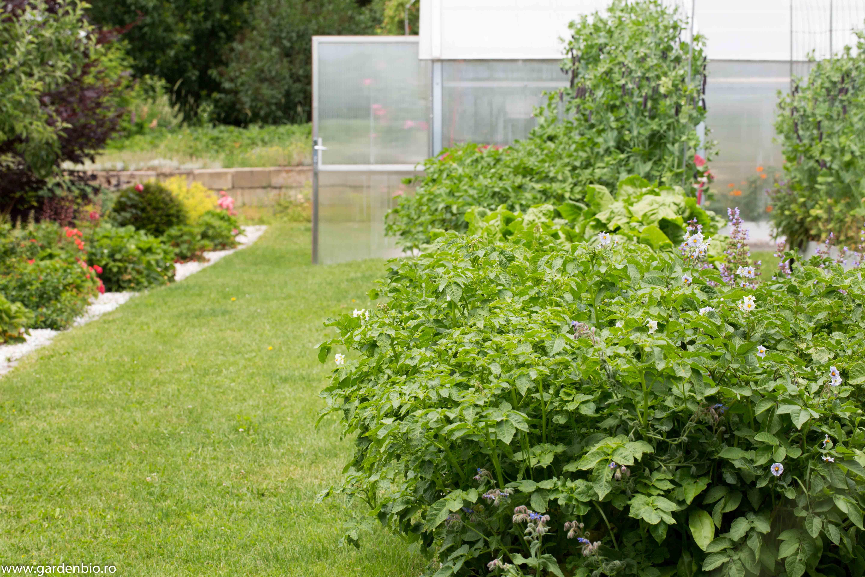 Strat cu cartofi - în sistem biointensiv putem să reducem de 2 sau chiar 3 ori distanţele de plantare. Recolte mai mari pe suprafeţe mai mici.