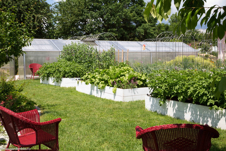 Straturi cultivate biointensiv cu diferite soiuri de cartofi şi în mijloc sfeclă Eckendorf.