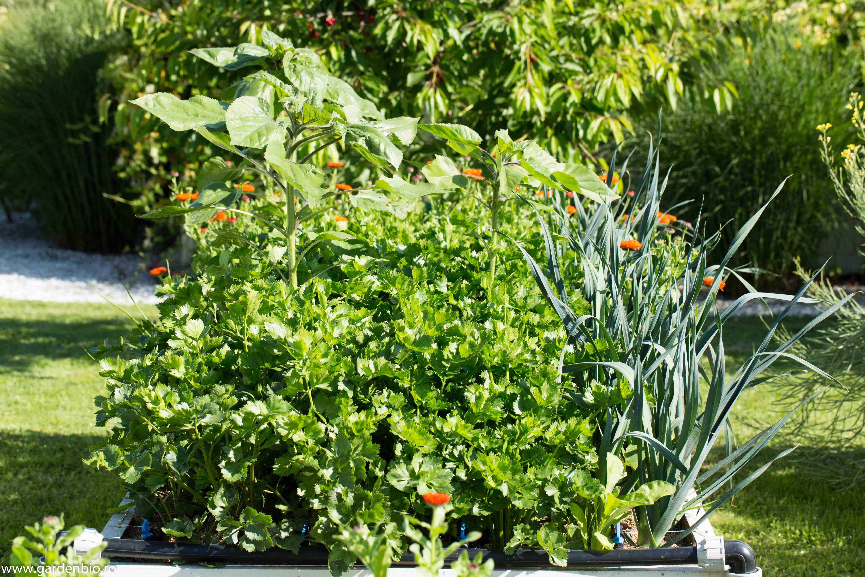 Strat cultivat biointensiv cu ţelină şi praz, desimea plantelor nu dă nicio şansă buruienilor să crească.