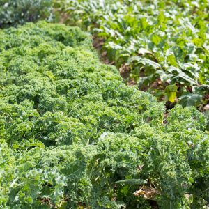 Semințe crucifere (kale, varză, gulii)